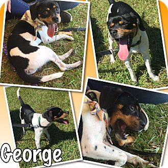 Pug/Jack Russell Terrier Mix Dog for adoption in Concord, North Carolina - George