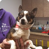 Adopt A Pet :: Little Man - Ottawa, KS
