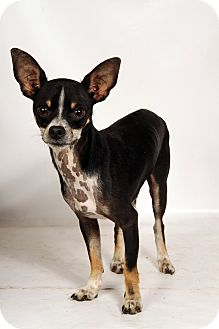 Chihuahua Mix Dog for adoption in St. Louis, Missouri - Cash Chi