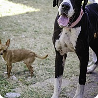 Great Dane Dog for adoption in Killeen, Texas - Mccoy