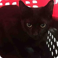 Domestic Shorthair Cat for adoption in New York, New York - Armani