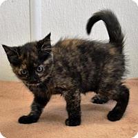 Adopt A Pet :: Athena - DuQuoin, IL