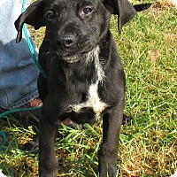 Labrador Retriever/Hound (Unknown Type) Mix Puppy for adoption in Reeds Spring, Missouri - Chester