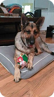 German Shepherd Dog Dog for adoption in Lithia, Florida - Macy-16