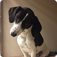 Adopt A Pet :: Harmony - Snyder, TX