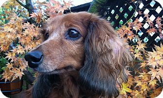 Dachshund Dog for adoption in San Jose, California - Blue