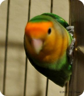 Lovebird for adoption in Shawnee Mission, Kansas - Topaz