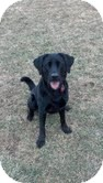 Labrador Retriever Mix Dog for adoption in Lewisville, Indiana - Annabelle