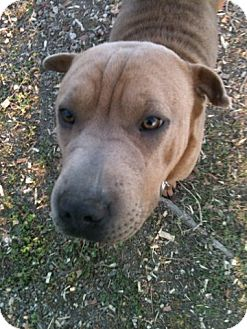 Shar Pei Dog for adoption in Mira Loma, California - Minnie