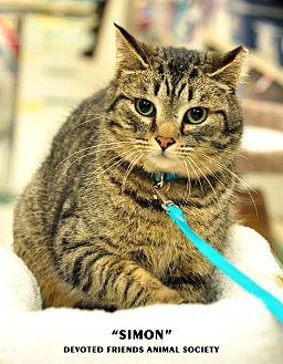 Domestic Shorthair Cat for adoption in Ortonville, Michigan - Simon