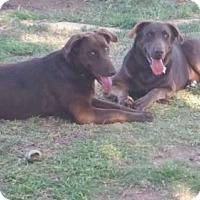 Labrador Retriever Mix Dog for adoption in Odessa, Texas - Trigger