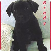 Adopt A Pet :: Brady - Marlborough, MA