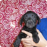 Adopt A Pet :: Izzie - Oviedo, FL