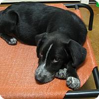 Adopt A Pet :: Felix - Groton, MA