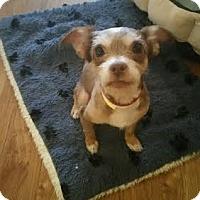 Adopt A Pet :: Roman 2 - Aurora, CO