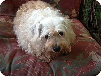 Maltese Dog for adoption in Belcamp, Maryland - Maddie (MS)
