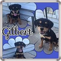 Adopt A Pet :: Gilbert- Tiny - Genoa City, WI