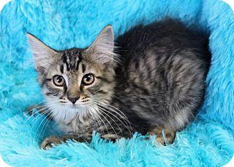 Domestic Shorthair Kitten for adoption in Muskegon, Michigan - Jupitar