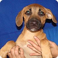 Adopt A Pet :: Fidget - Oviedo, FL