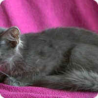 Russian Blue Kitten for adoption in Spring Valley, New York - Steel