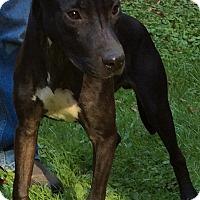 Adopt A Pet :: Shadow - NY - Warren, ME