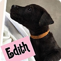 Adopt A Pet :: Edith - Brattleboro, VT