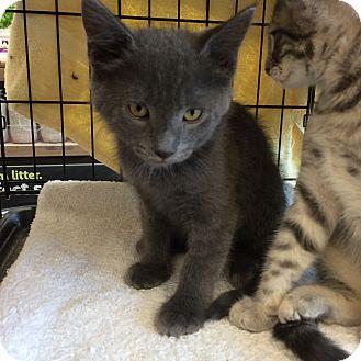 Domestic Shorthair Kitten for adoption in Washington, D.C. - Graphite