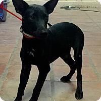 Adopt A Pet :: Tommy - Mesa, AZ