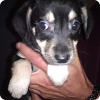 Adopt A Pet :: Bug - Kendall, NY