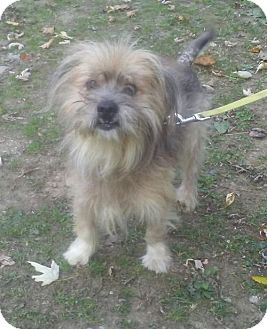 Lhasa Apso/Terrier (Unknown Type, Medium) Mix Dog for adoption in Ceres, Virginia - Tiny