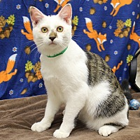 Domestic Shorthair Kitten for adoption in McCormick, South Carolina - Peeps