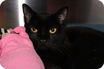 Domestic Shorthair Cat for adoption in Sarasota, Florida - Gabriella