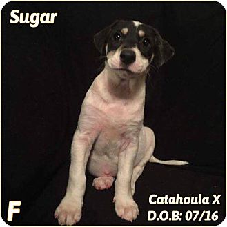 Catahoula Leopard Dog Mix Puppy for adoption in DeForest, Wisconsin - Sugar