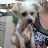 Adopt A Pet :: Ronny - Phoenix, AZ