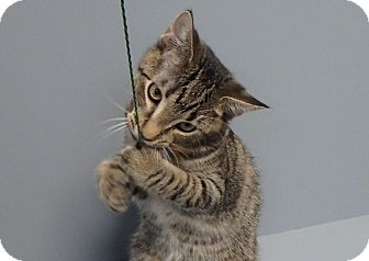 Domestic Shorthair Cat for adoption in Seguin, Texas - Parsley
