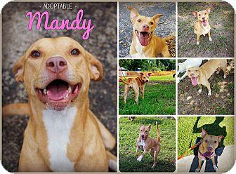 Labrador Retriever/American Pit Bull Terrier Mix Dog for adoption in Orlando, Florida - Mandy
