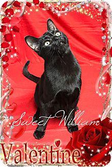Domestic Shorthair Kitten for adoption in Davison, Michigan - Sweet William