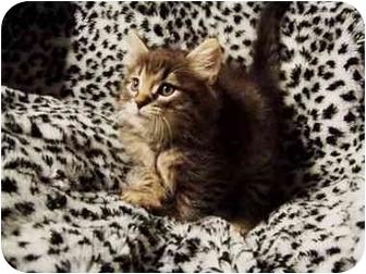 Domestic Longhair Cat for adoption in Spencer, New York - Zephyr