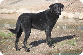 Labrador Retriever/Flat-Coated Retriever Mix Dog for adoption in Mahwah, New Jersey - Thriller