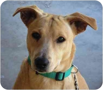 Labrador Retriever Mix Puppy for adoption in Phoenix, Arizona - Romeo
