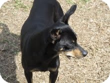 Miniature Pinscher Mix Dog for adoption in Justin, Texas - Willie