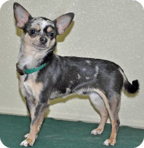 Chihuahua Dog for adoption in Port Washington, New York - Patsy