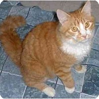 Domestic Longhair Cat for adoption in Stuarts Draft, Virginia - Ernie