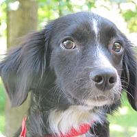 Adopt A Pet :: Alfie - Allentown, PA