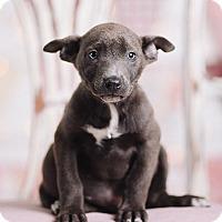 Adopt A Pet :: Arnold the Lovenator - Portland, OR