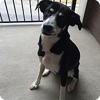 Adopt A Pet :: Holly - Manhasset, NY
