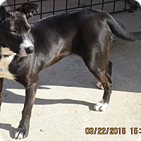 Adopt A Pet :: Bluebell - New Oxford, PA