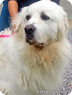 Great Pyrenees Dog for adoption in Beacon, New York - Bohdi in MA - pending