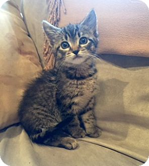 Domestic Shorthair Kitten for adoption in Whitestone, New York - Nicolette