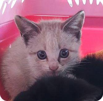 Siamese Kitten for adoption in Alpharetta, Georgia - Booberry
